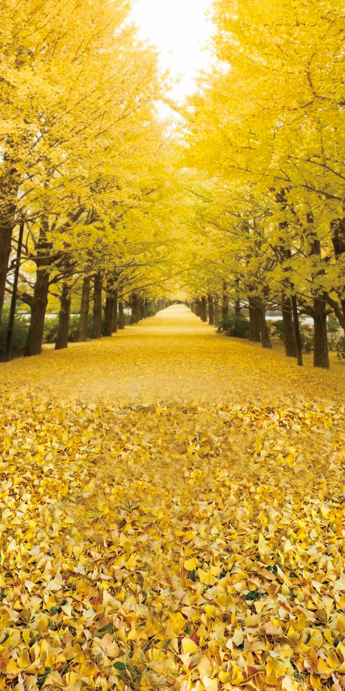 Row of ginkgo trees